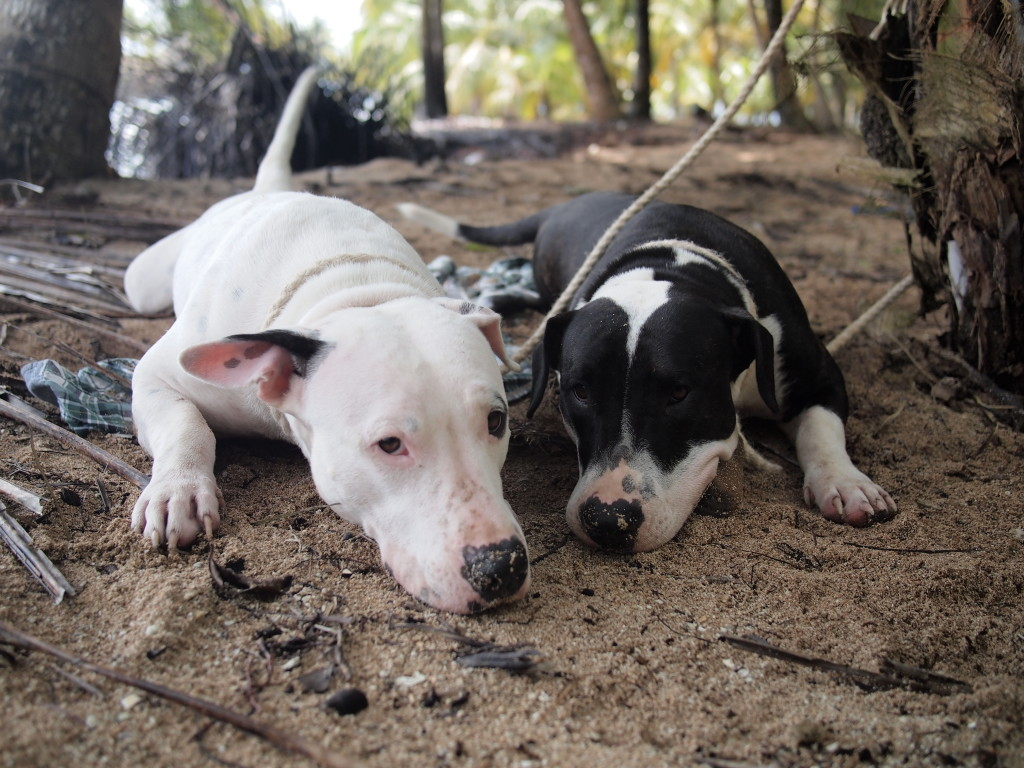 two dogs, nose to the ground, tied to a tree in the jungle